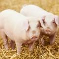 featured image Szkolenie dla hodowców i producentów trzody chlewnej