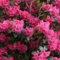 featured image II Rekreacyjny bieg o kwiat różanecznika